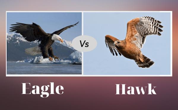 Phân biệt eagle và hawk