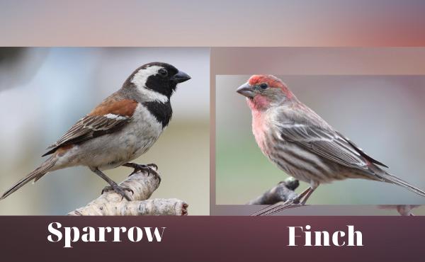 Khác nhau giữa sparrow và finch